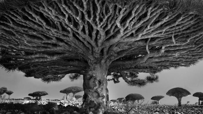 vieux arbre photo photographie noir et blanc