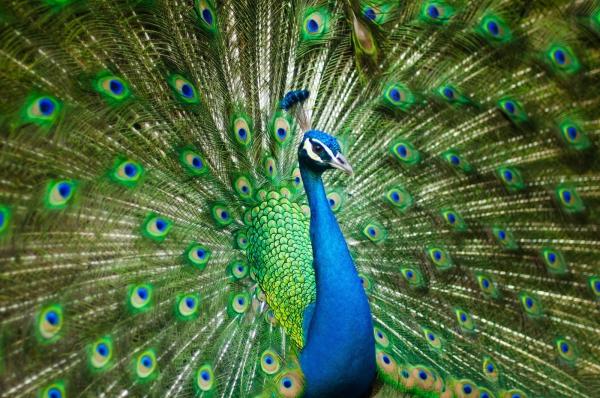 peinture bleu paon splendeur et fierté