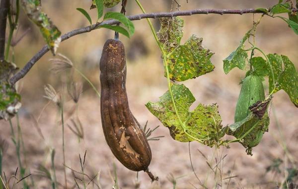 éponge luffa légume prêt à cueillir