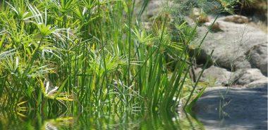 Plante Papyrus Et Comment Se Sent Elle Dans Un Pot Ou Dans