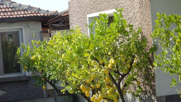 citron santé plein de citronniers