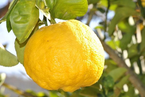 citron santé un fruit énorme