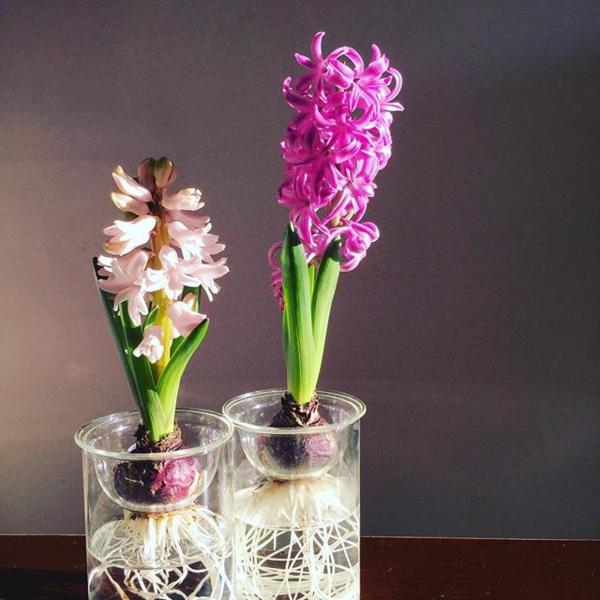 idée déco plante aquatique jacinthes