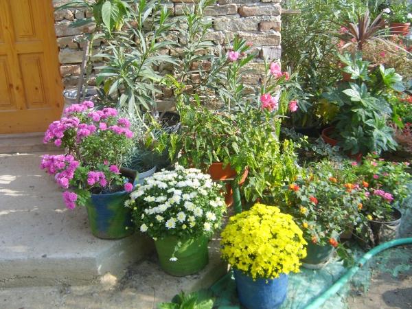 oeillet d'Inde des pots devant la maison
