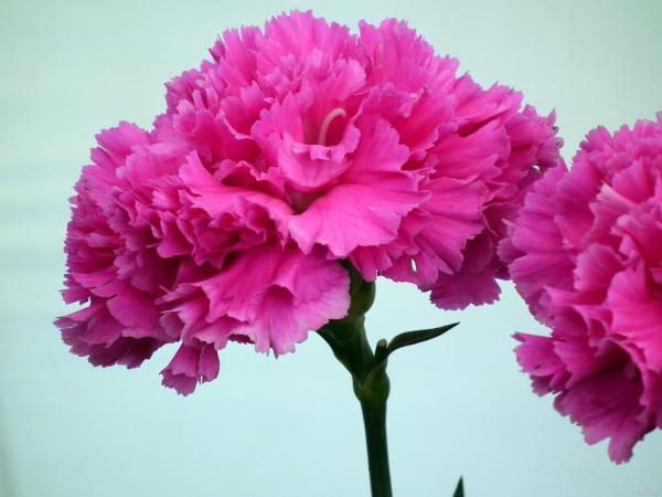 oeillet d'Inde joli rose