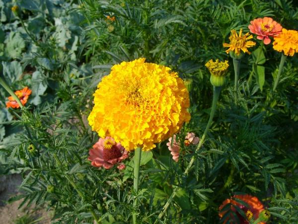 oeillet d'Inde plante fleurie
