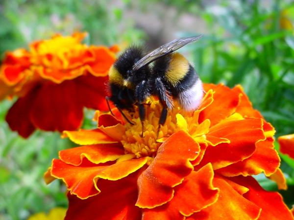 oeillet d'Inde une abeille travailleuse