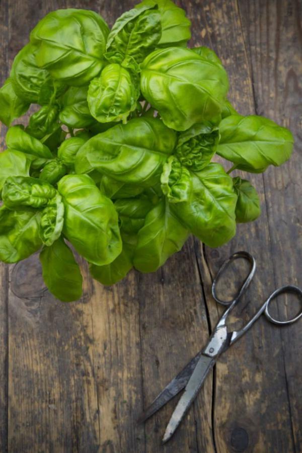 plante anti-moustique feuilles de basilic