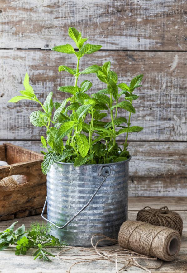 plante anti-moustique la menthe odorante