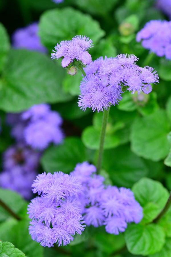 plante anti-moustique le phlox bleu