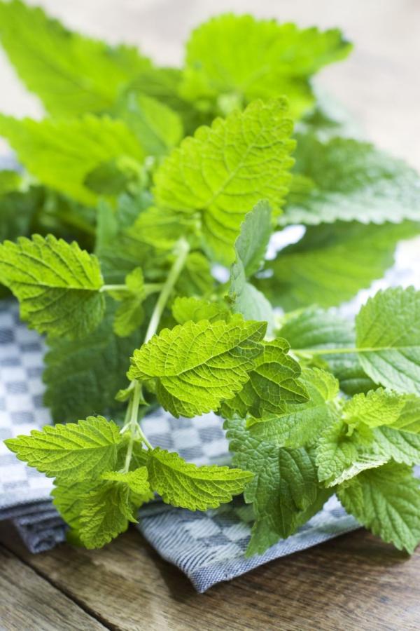 plante anti-moustique mélisse odorante
