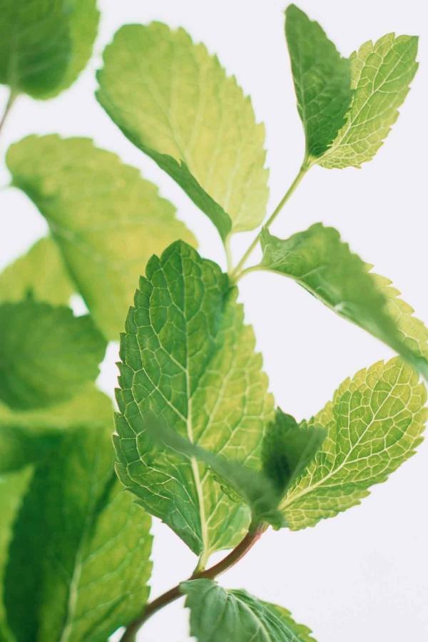 plante anti-moustique menthe poivrée