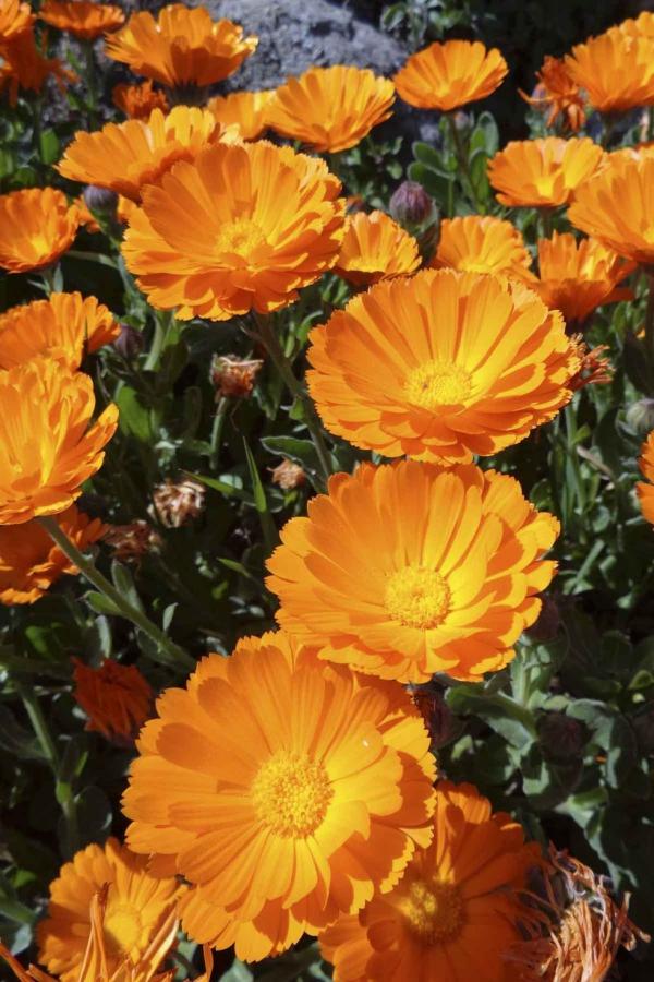 plante anti-moustique pétales oranges