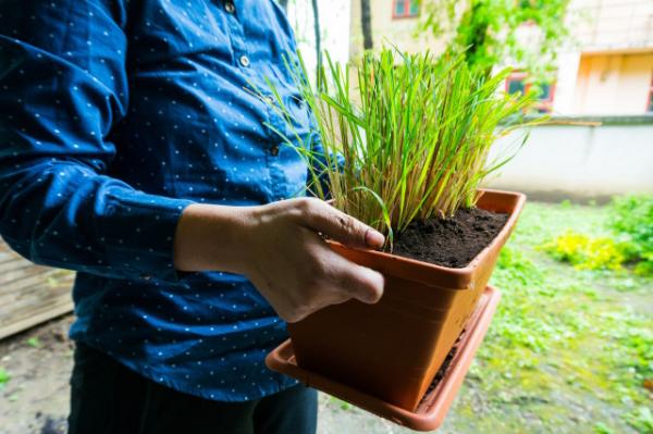 plante anti-moustique un pot à citronnelle