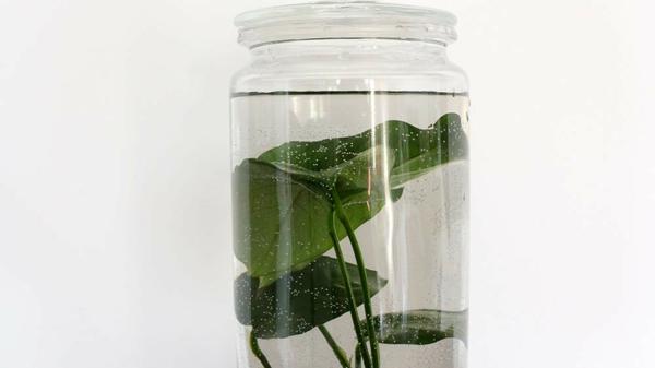 plante aquatique bocal en verre