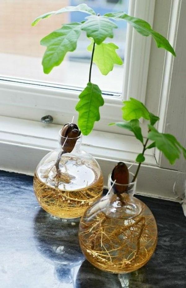 plante aquatique noyau avocat