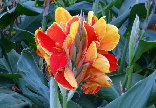 plante canna beauté époustouflante
