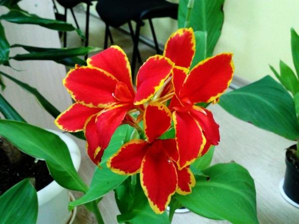 plante canna d'un rouge vivant