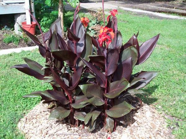 plante canna entourer la plante