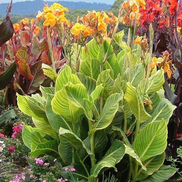 plante canna grande variété
