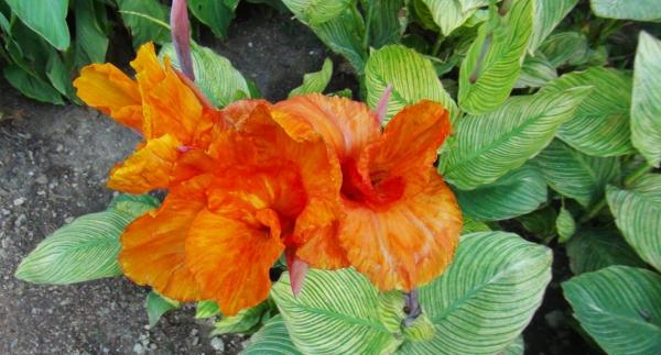 plante canna grandes feuilles