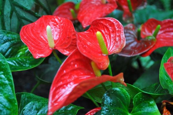 plante exotique flamingo lily