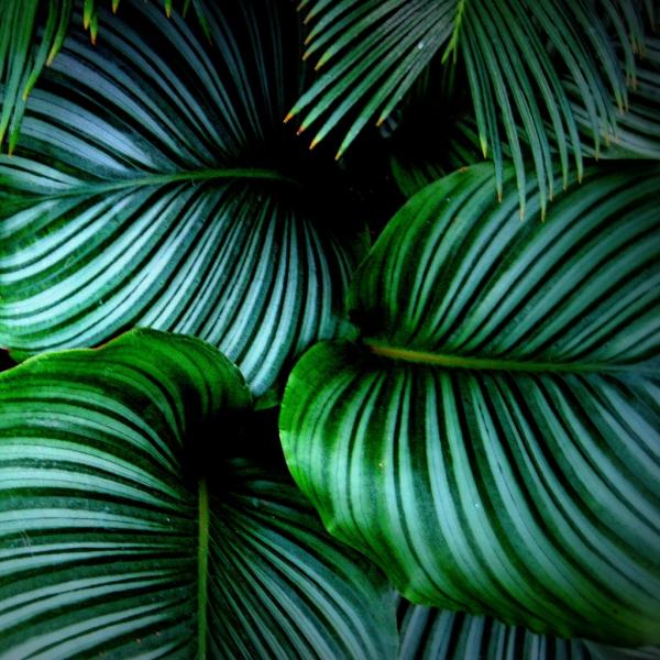 plante exotique grandes feuilles