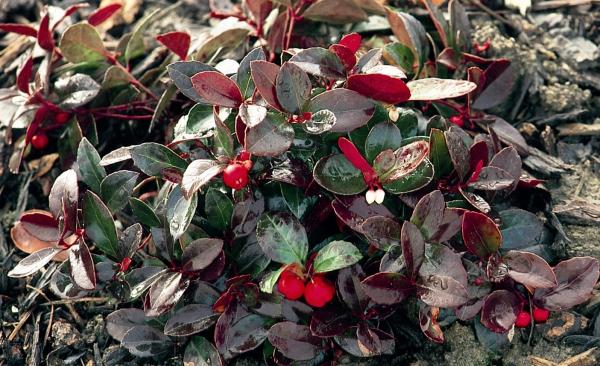 plante grimpante aux feuilles épaisses