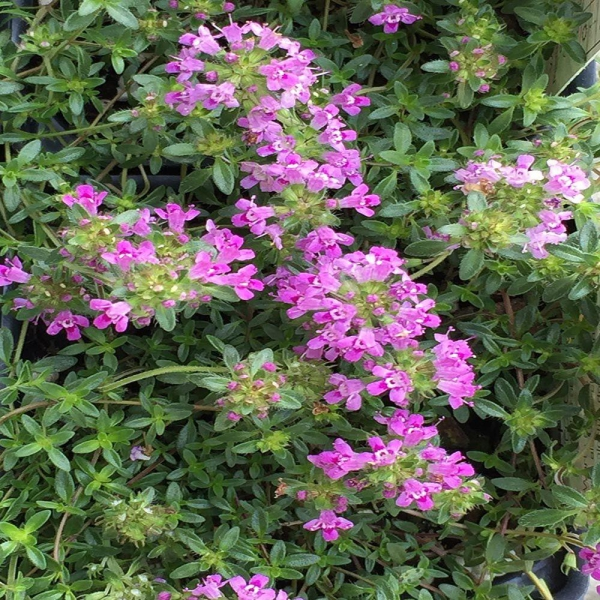 plante grimpante coccineus rampant