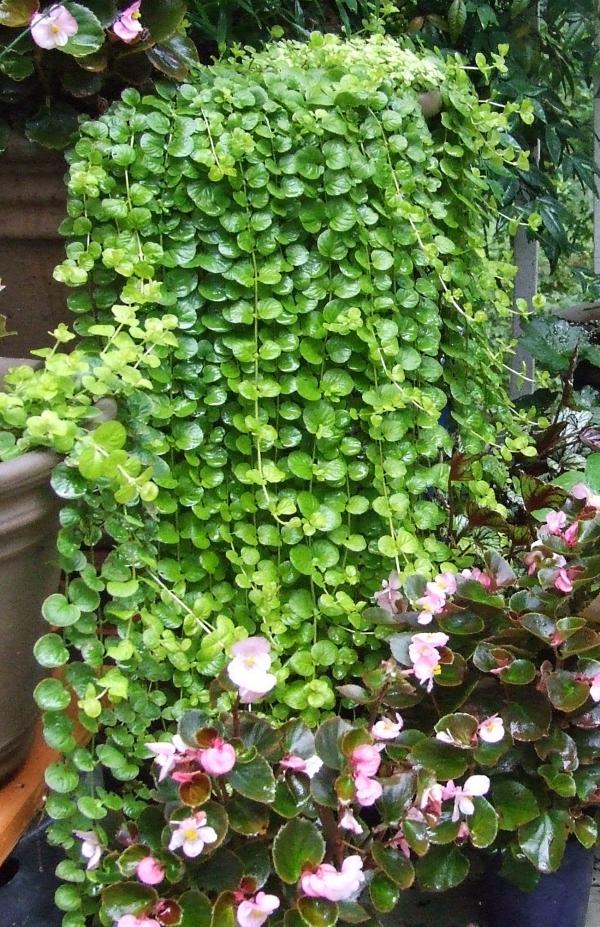 plante grimpante comme une cascade