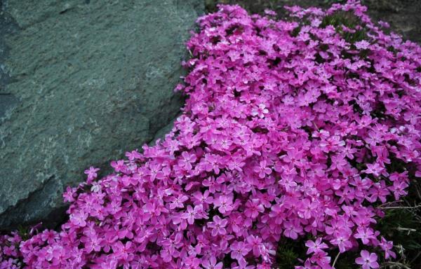 plante grimpante couleur violette