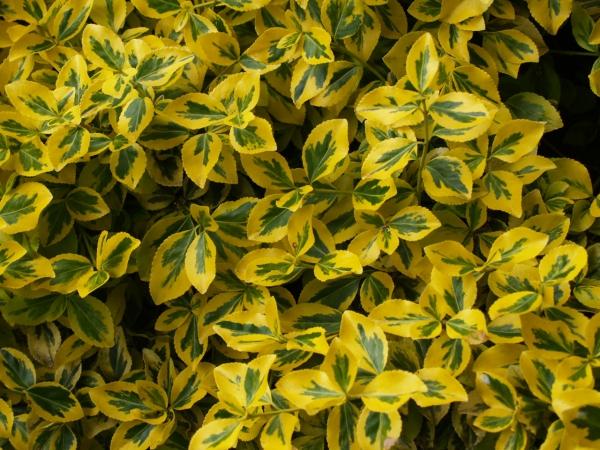 plante grimpante feuille jaune
