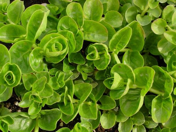 plante grimpante feuilles pliées vers l'intérieur