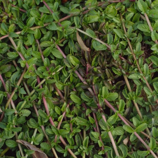 plante grimpante tiges entrecroisées