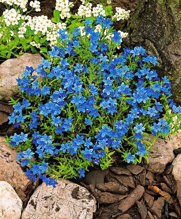 plante grimpante touffe de fleurs bleues
