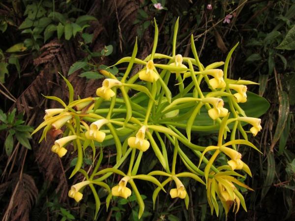 plante lacustre épidendrum lacustre