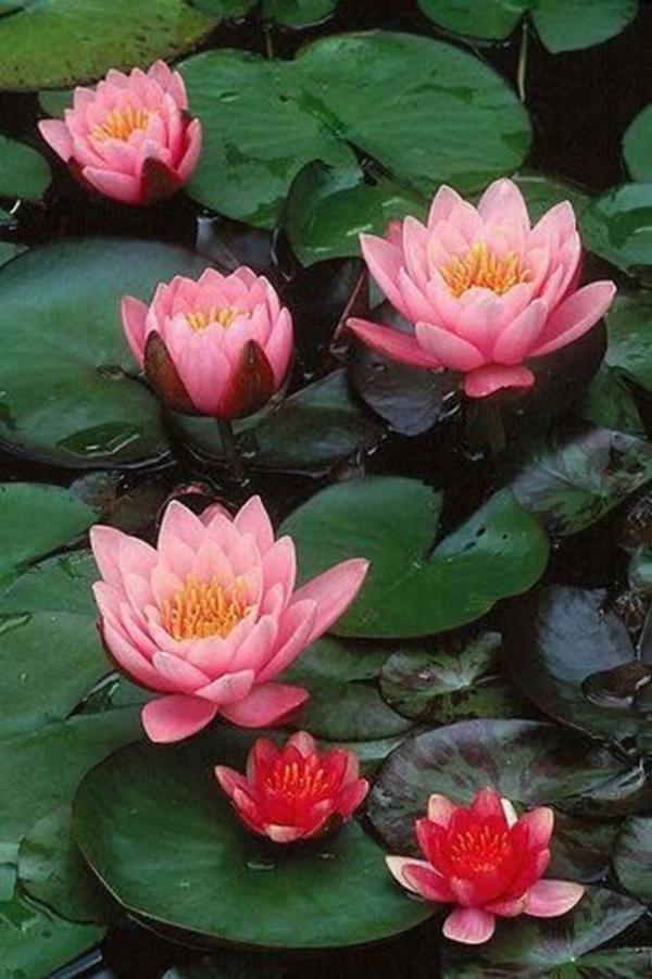 plante lacustre aux fleurs roses