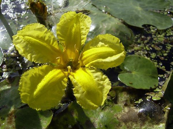 plante lacustre cinq pétales ouvertes