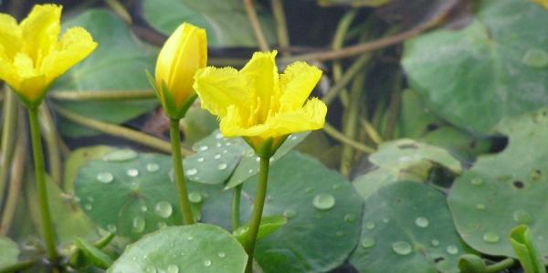 plante lacustre coeur flottant