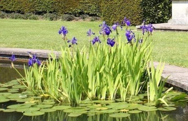 plante lacustre colonie d'iris