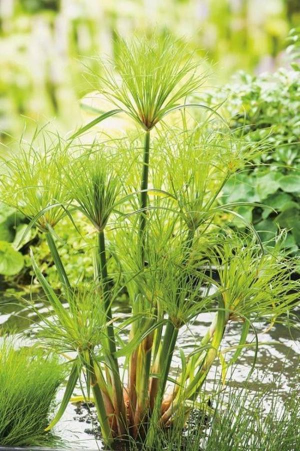 plante lacustre comme un balai