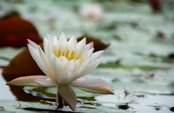 plante lacustre exemplaire blanc