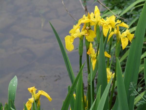 plante lacustre iris des marais