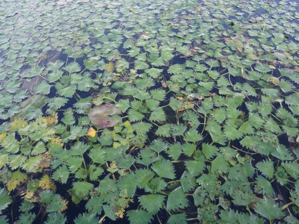 plante lacustre nappe verte