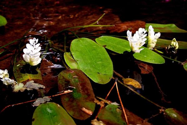 plante lacustre originaire d'Afrique du Nord
