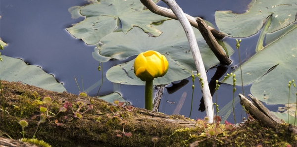plante lacustre pétales fermées