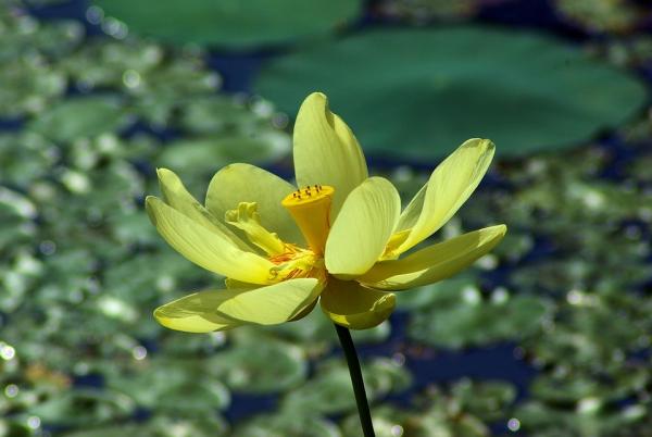 plante lacustre pétales jaunes