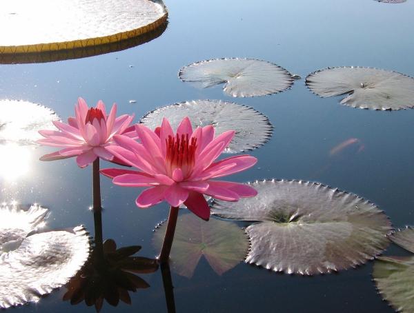 plante lacustre un lys rose