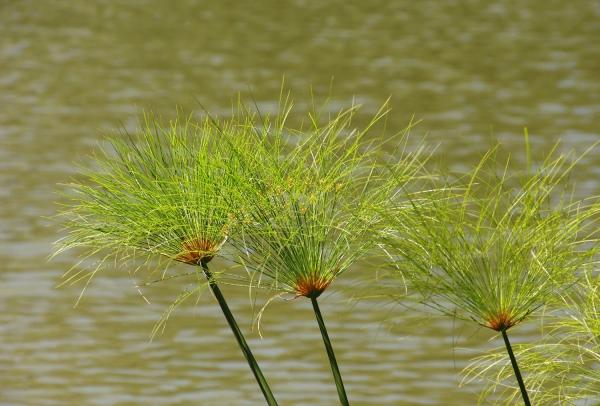 plante papyrus au bord d'une rivière