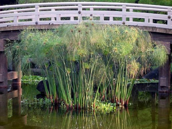 plante papyrus comme un jet d'eau
